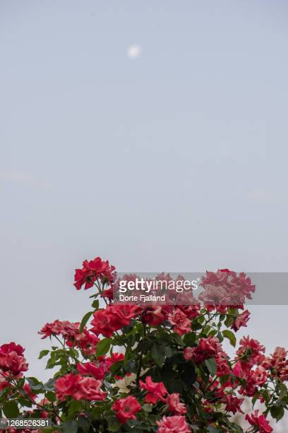 blooming red roses with a pale blue sky and a blurred moon high above - dorte fjalland fotografías e imágenes de stock