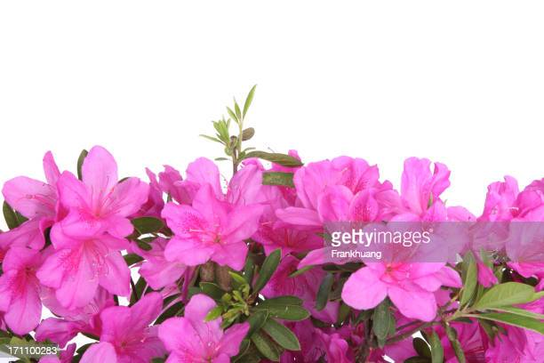 Blühende rhododendron