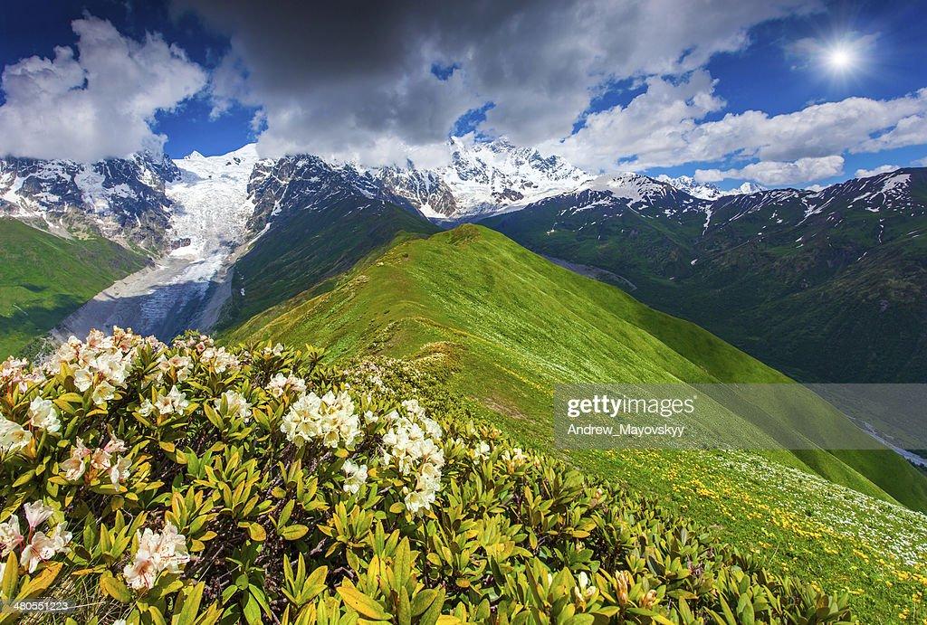 Desabrochando Rododendros no Prado da montanha : Foto de stock