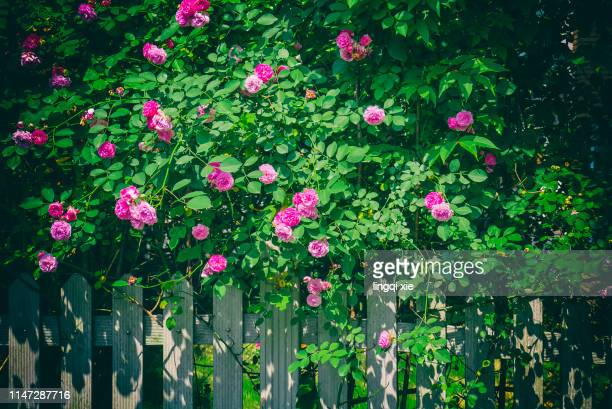 blooming rose on the fence under the sun - june stock pictures, royalty-free photos & images