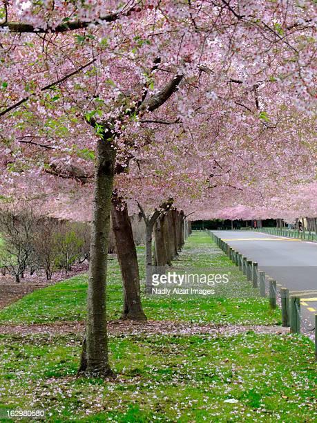 Blooming Sakura at Esplanade