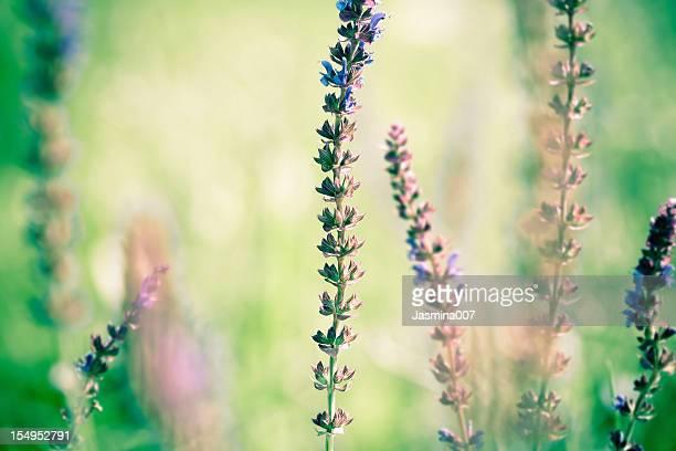 Florecer Salvia leucantha