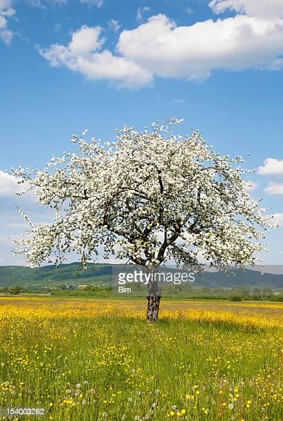 Blooming un pommier sur la prairie de printemps