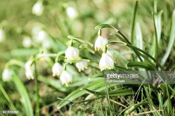 blooming spring snowflakes on a meadow - mois de mars photos et images de collection