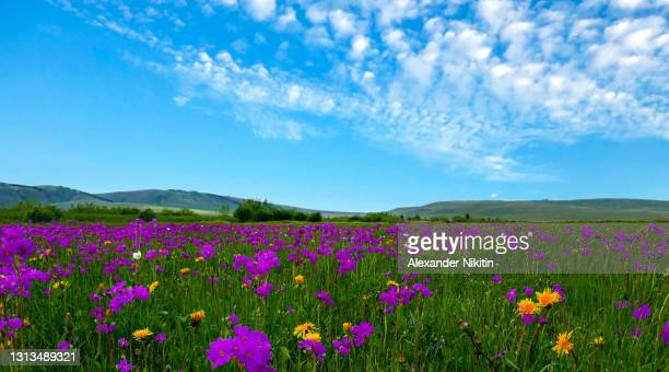 blooming steppe in khakassia in june - juin photos et images de collection
