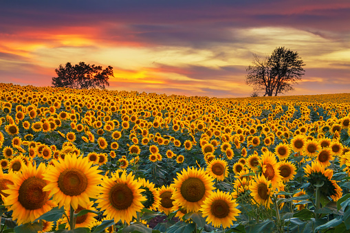 Blooming Sunflower Field 877356936