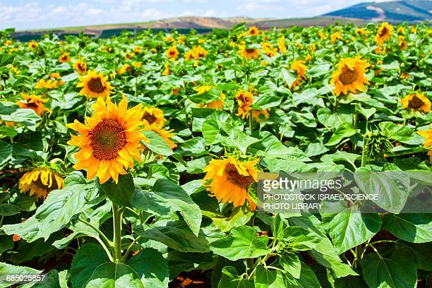 blooming sunflowers in a field - photostock stock pictures, royalty-free photos & images
