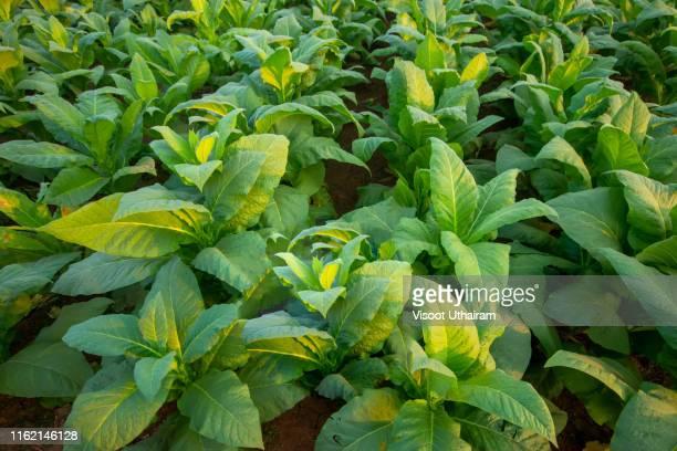 blooming tobacco plants with leaves - tabakwaren stock-fotos und bilder