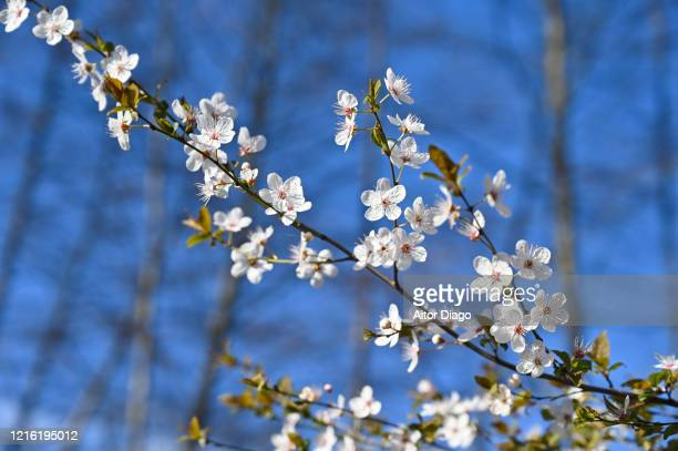 blooming tree branches in spring in a sunny day. germany. - 三月 ストックフォトと画像