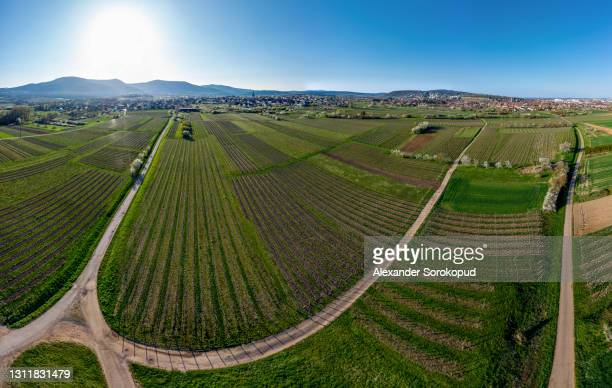 blooming trees, white balls on a background of green grass. apple trees, cherries. top view from the drone. alsace. france. panoramic view. - 360 fotografías e imágenes de stock
