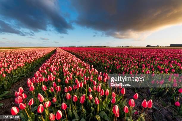 blooming tulip field in north holland, the netherlands - tulipano foto e immagini stock