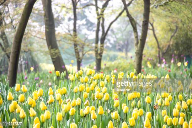 blooming tulip flower - tulips and daffodils stock pictures, royalty-free photos & images