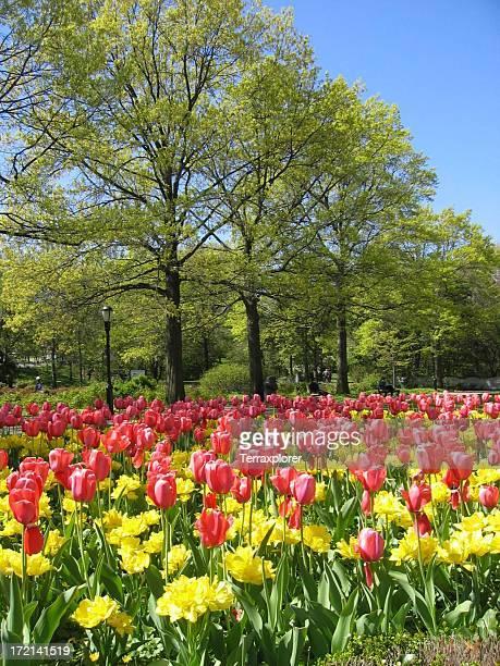 Blooming Tulip Garden In City Park