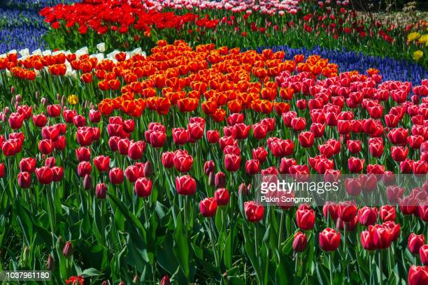 blooming tulips flowerbeds in keukenhof flower garden - tulips and daffodils stock pictures, royalty-free photos & images