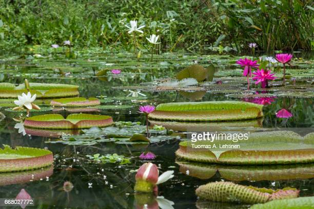 Blooming water lilies and big floating Victoria water lily leafs in a pond.