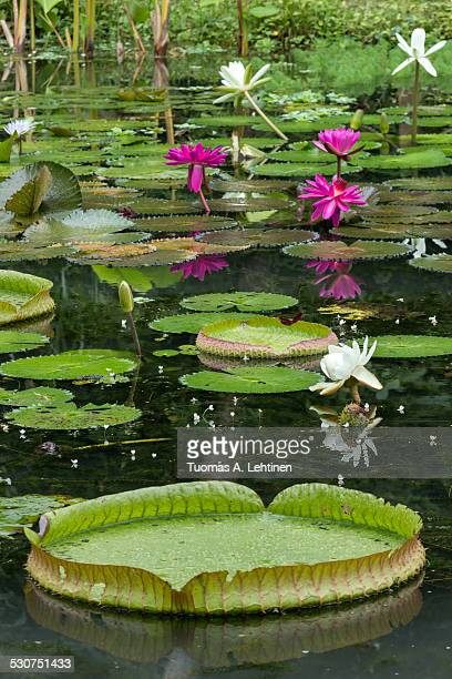 Blooming water lilies and lily pads in a pond