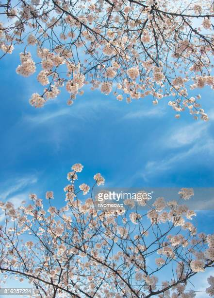 Blooming white cherry blossom trees in spring time.