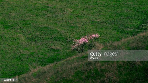 blooming wild tree in front of green hills - fremont california stock pictures, royalty-free photos & images