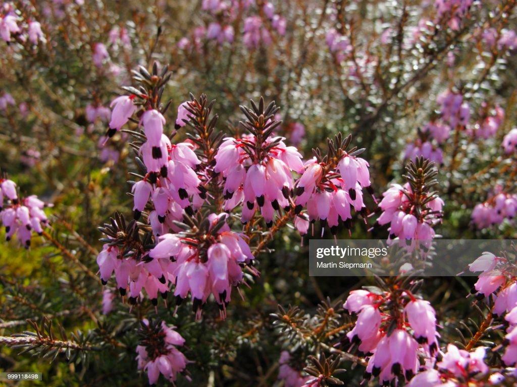 Blooming Winter Heath Winter Flowering Heather Or Spring Heath