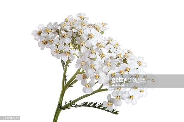 blooming Millefeuille (achillea) isolé sur blanc
