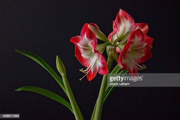 Blooms from Amaryllis
