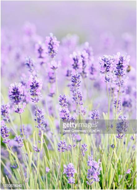 blooms of cotswolds lavender at snowshill - meadow stock pictures, royalty-free photos & images