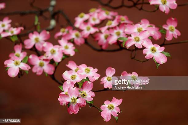 Blooms on a dogwood tree are seen during a practice round prior to the start of the 2015 Masters Tournament at Augusta National Golf Club on April 7...
