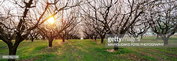 Blossom almond field
