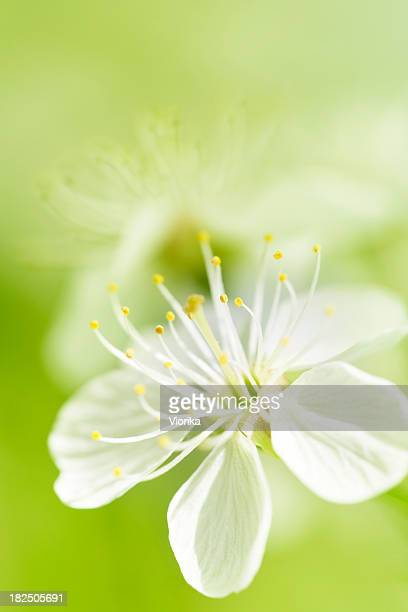 A blossom background with white flower in full bloom