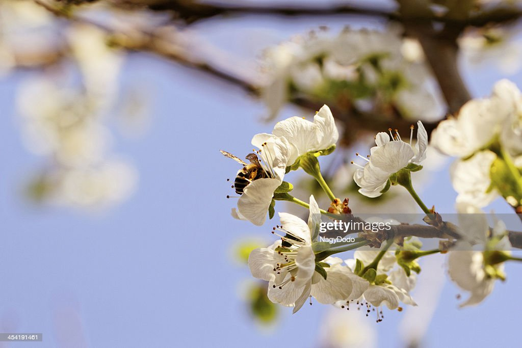 blossom cherry tree with bee : Stock Photo
