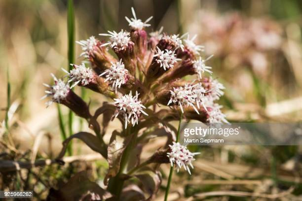 Blossom, Common butterbur (Petasites hybridus), Upper Bavaria, Bavaria, Germany