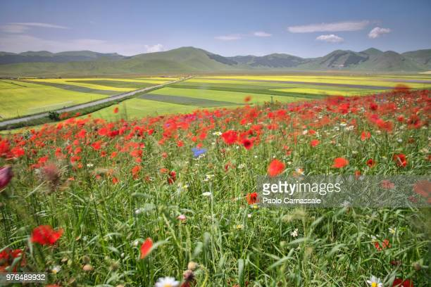 blossom in castelluccio di norcia in a windy day - castelluccio stock photos and pictures