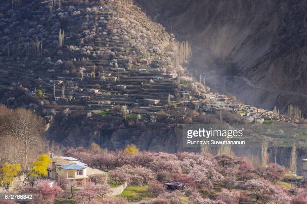 blossom in hunza valley, karimabad, gilgit baltistan, pakistan - hunza valley stock pictures, royalty-free photos & images