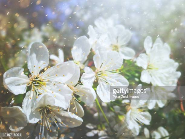 blossom in the spring - pollen stock pictures, royalty-free photos & images