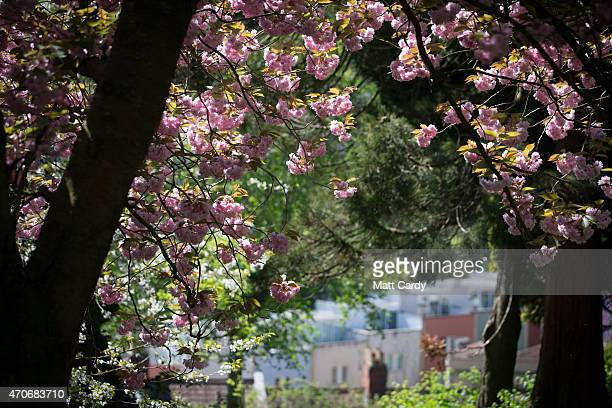 Blossom is seen on trees in Brandon Park on April 22 2015 in Bristol England The UK has recently been enjoying a sustained period of settled weather...
