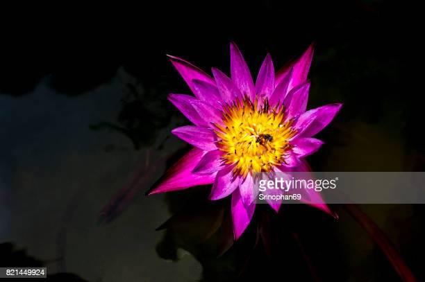blossom lotus flower; focus on flower