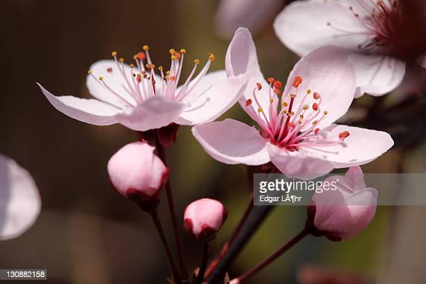 Blossom of a Cherry Plum (Prunus cerasifera)