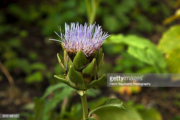 blossom of an artichoke - heinz baumann photography stock-fotos und bilder