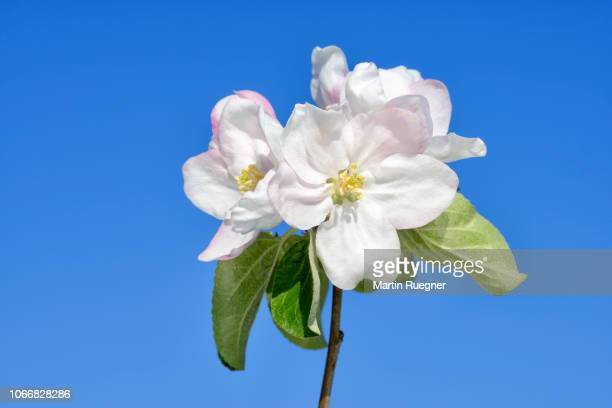 Blossom of Apple Tree (Malus domestica) against clear blue sky. Bavaria, Germany, Europe.