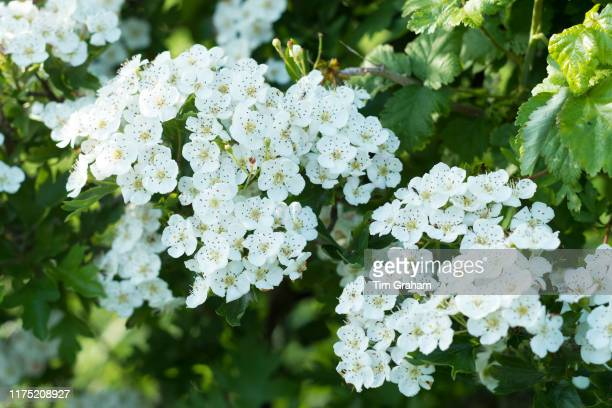 Blossom of Common Hawthorn - Crataegus monogyna -spectacular elegant white blooms in late spring, early summer , the Oxfordshire Cotswolds, United...
