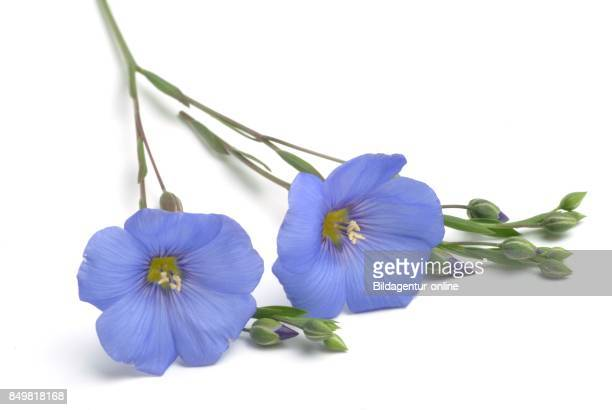 Blossom Of Flax Common Flax or Linseed Linum Usitatissimum Medicinal Plant and Food