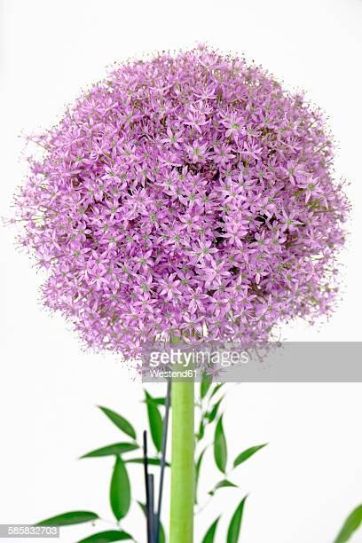 Blossom of Giant Onion, Allium giganteum