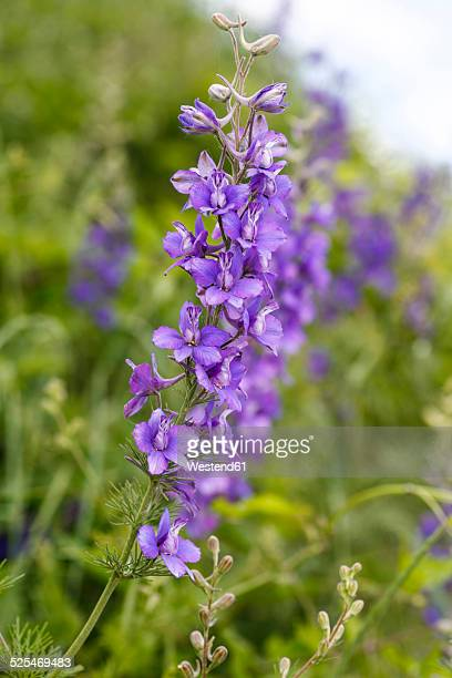 blossom of meadow sage, salvia pratensis - sagebrush stock pictures, royalty-free photos & images