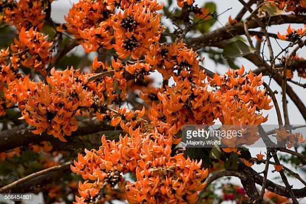 A blossom of Palash Flowers during spring Dhaka Bangladesh