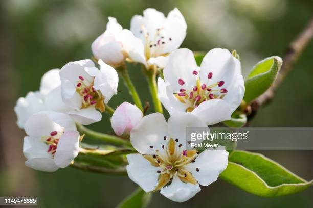 Blossom of pear tree