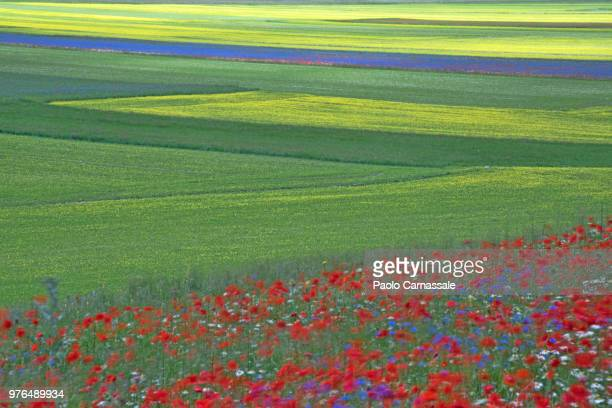 blossom of poppies, lentils and cornflowers in a windy day - castelluccio stock photos and pictures