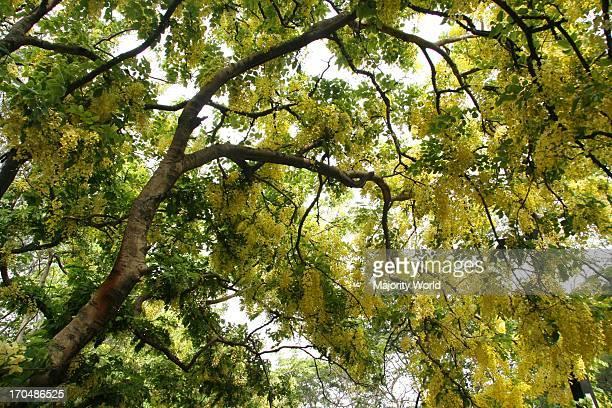 A blossom of Swarnajhuri Acacia auriculiformis in Dhaka Bangladesh May 1 2009
