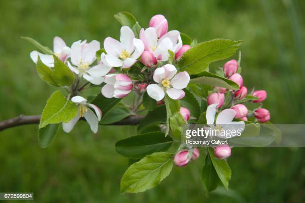 Blossom on apple tree in garden, UK.