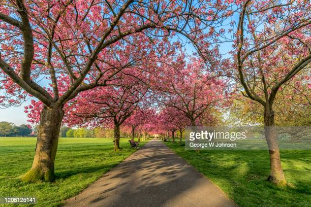 blossom pathway - kensington and chelsea stock pictures, royalty-free photos & images