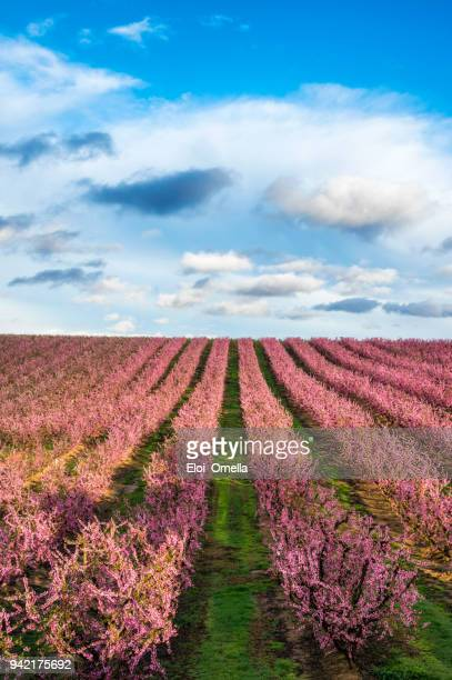 blossom peach tree in spring in aitona, catalonia, spain - peach flower stock pictures, royalty-free photos & images